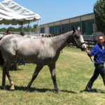 Too Much Bling Offspring Top Texas Summer Yearling and Mixed Sale