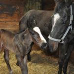 First Minnesota-bred by Triple Crown Winner American Pharoah Foaled at Wood-Mere Farm